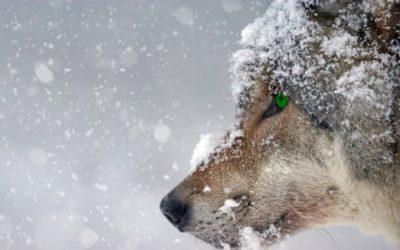 Les 3 erreurs à ne surtout pas commettre face à un loup