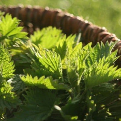L'ortie ou grande ortie, une plante sauvage et comestible..